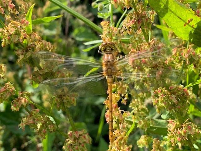 dragonfly 2 x